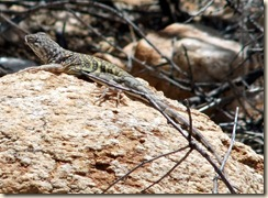 Greater Earless Lizard 5-10-2011 9-49-53 AM 1216x891