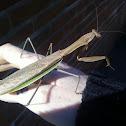 Chinese Praying Mantis