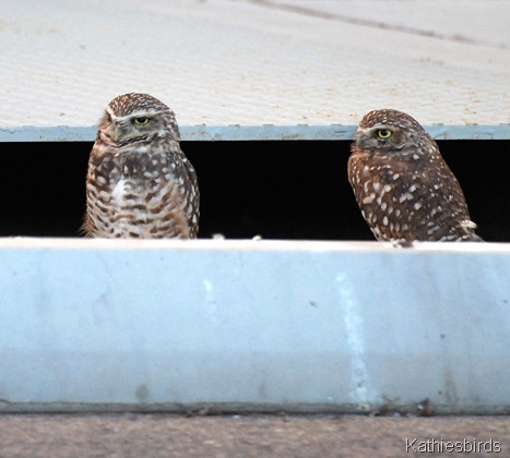 DSC_0202 Burrowing owls-kab