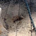 Barn Funnel Weaver Spider