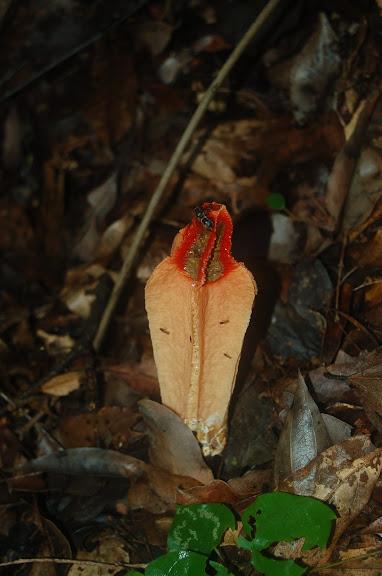 Champignon insolite (famille des Phallacées ?). La Montagne d'Ambre (biotope forestier, 500 m), au sud d'Antsiranana, 3 février 2011. Photo : T. Laugier