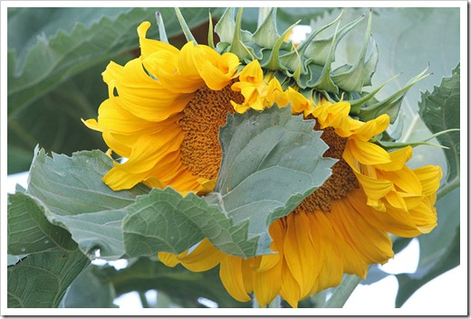 110707_sunflowers_davis_17