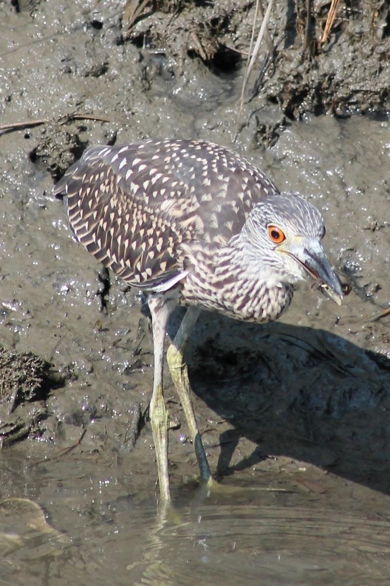 Yellow Crowned Night Heron (juvenile)