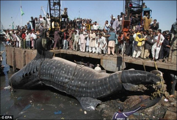 Giant 40-foot Whaleshark Caught 06