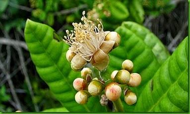 Myrcia ilheoensis