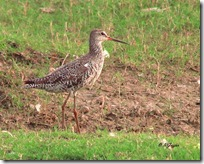 149 Common Redshank.