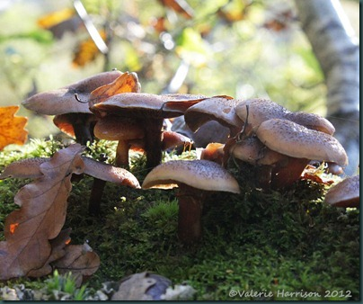 37-Honey Fungus (Armillaria mellea)