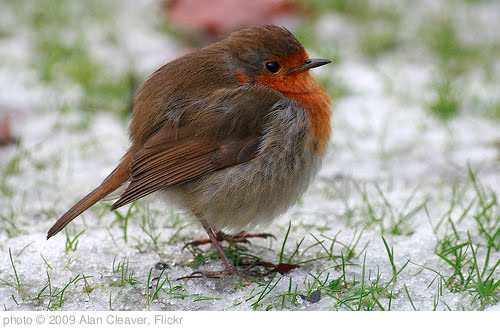 'Fat robin' photo (c) 2009, Alan Cleaver - license: http://creativecommons.org/licenses/by/2.0/