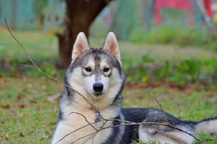 Simran by Lavenia Brinda - Animals - Dogs Portraits ( lavenia )