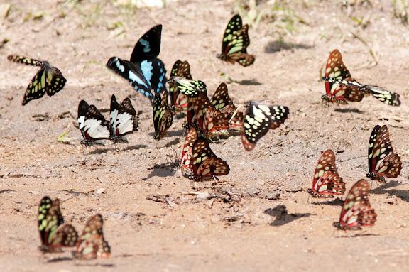 Papilio epiphorbas BOISDUVAL, 1833, endémique (le bleu) ; Graphium endochus BOISDUVAL, 1836 (blanc et noir) ; Graphium cyrnus BOISDUVAL, 1836, endémique. Parc d'Andasibe-Mantadia, octobre 2011. Photo : Tim Stewart