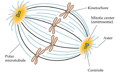 Mitotic Spindle