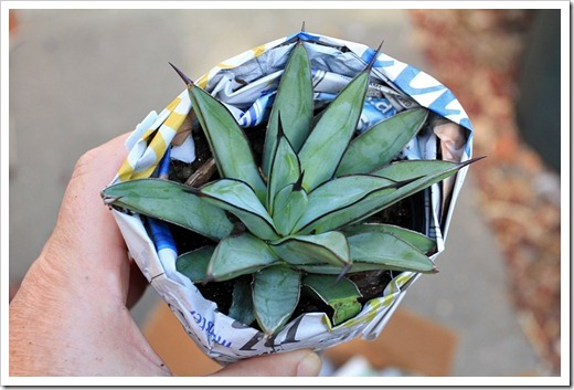 120914_YuccaDoPlants_Agave-Royal-Spine