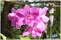 Орхидея. Пхукет.