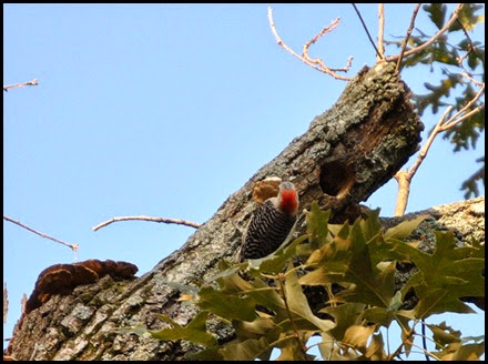 01 - Morning walk - Red Bellied Woodpecker and nest
