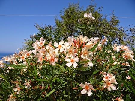 15. Flori de Corfu.JPG