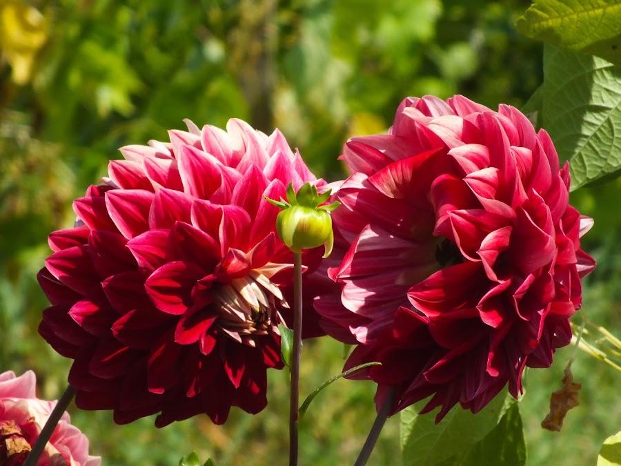 Red flowers by Calistru Silviu - Flowers Flower Gardens ( red, nature, green, garden, flower, , Flowers, Flower Arrangements )