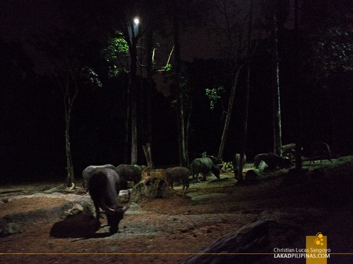 Grazing Carabaos at Singapore's Night Safari
