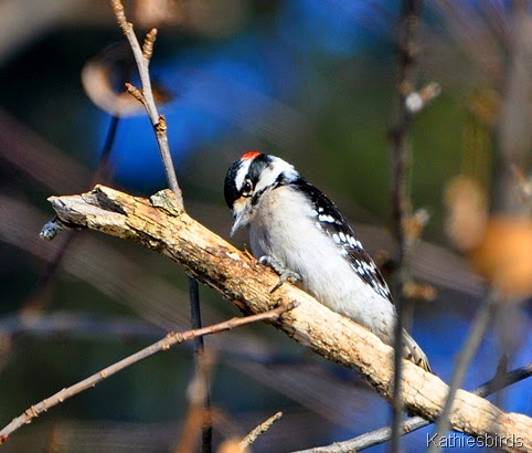 1. downy woodpecker-kab
