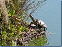 7056 Texas, South Padre Island - Birding and Nature Center - Red-eared Slider