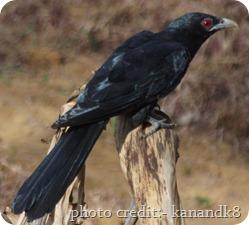 Wild Kerala Birds Found In Kerala Indian Koel