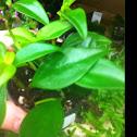 Peperomia mini leaf