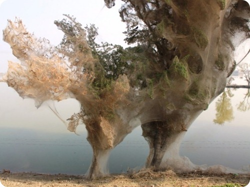 Spider cocoons in Sindh 1
