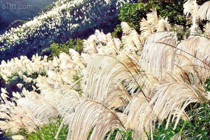 Cánh đồng hoa cỏ lau Ảnh: sưu tầm