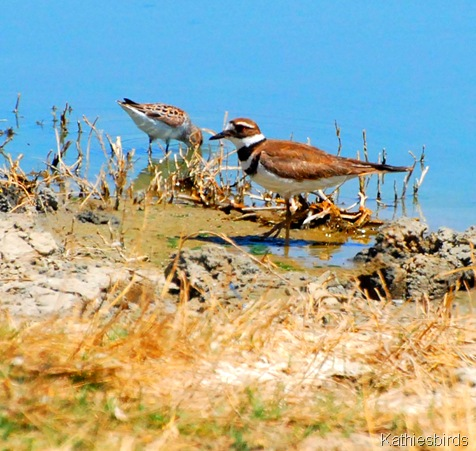 2. killdeer-kab