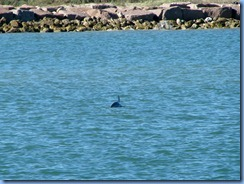 6907 Texas, South Padre Island - Osprey Cruises - Sea Life Safari  - Atlantic Bottlenose Dolphin