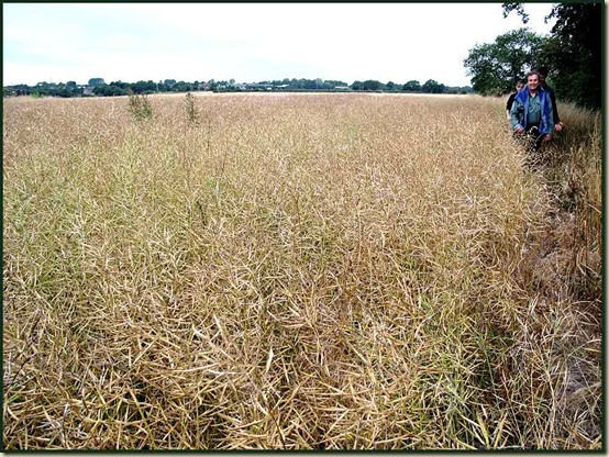 Cheshire crops leave no room for footpaths