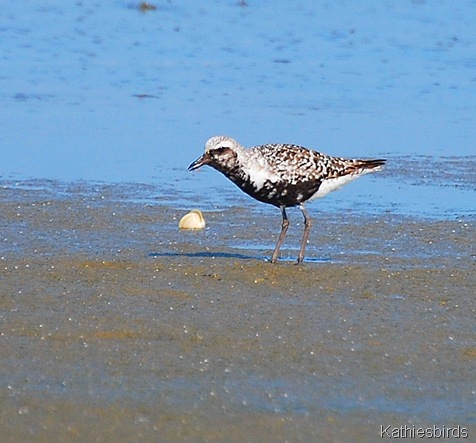 8. Black-bellied plover-kab