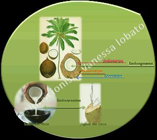 coco---divises_thumb2 Óleo de coco e TCM/MCT – Triglicérides de Cadeia Média