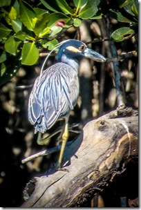 IMG_3255 Yellow-Crowned Night Heron