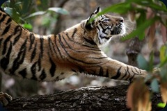 tiger-stretch-india_22673_600x450