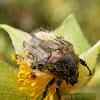 Escaravelho das Flores