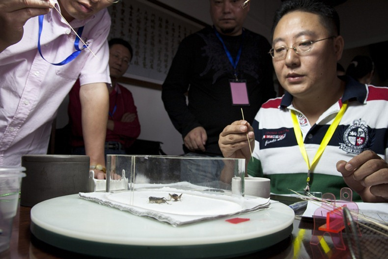 A two day cricket tournament held in Qibao Ancient Town organised by Minhang Collection Association. Venue was at 蟋蟀草堂 or Cricket cottage on Qibao Ancient street. Two male crickets are put into the plastic container, to coax them into fighting the owners  brush them with straw sticks to get them to bring their jaws out.