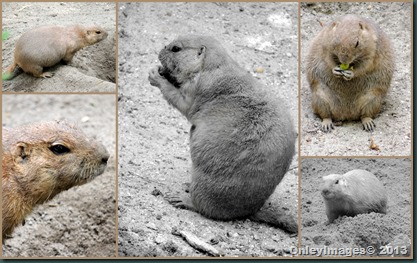 prarie dog collage1