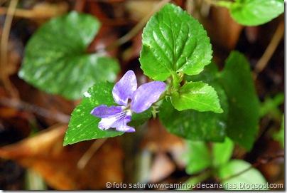 041 Garajonay-El Cedro(Violeta monte)