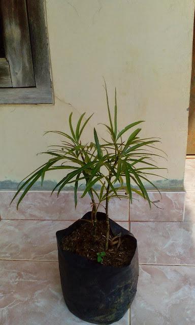 kami menjual pohon aralea dengan berbagai pilihan besar atau kecil, kami menjual pohon aralea dengan harga murah