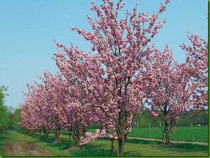 Prunus_serrulata