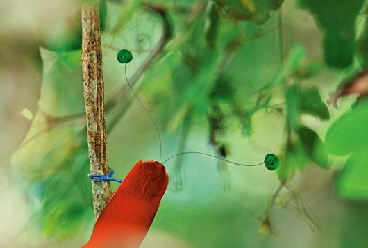 Тим Ламан: Тайны райских птиц clip_image008