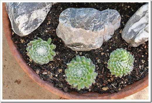 110828_new-sempervivum-bowl_02