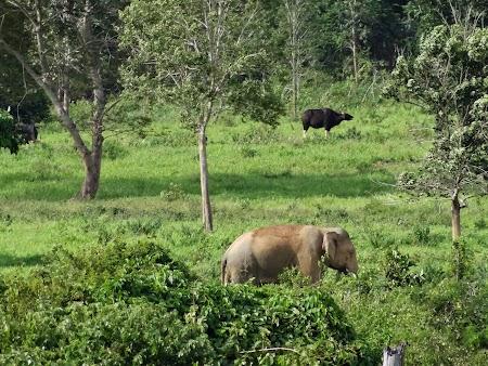 40. Elefant si vaca salbatica in Thailanda.JPG