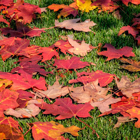 Where is my rake? by Donna Brittain - Nature Up Close Leaves & Grasses ( red, nature, autumn, fall, ground, yellow, leaves, shadows, maple )