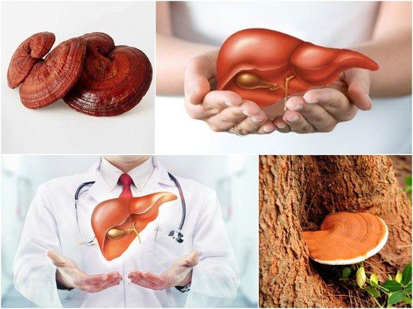 nấm linh chi với người bệnh gan
