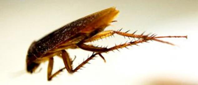 Saltoblattella montistabularis a