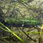 Green Darner (Nymph)