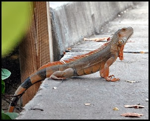 01c - Old Bridge - Iguana bridge greeter