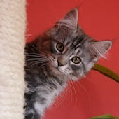 Maine Coons Live Wallpaper