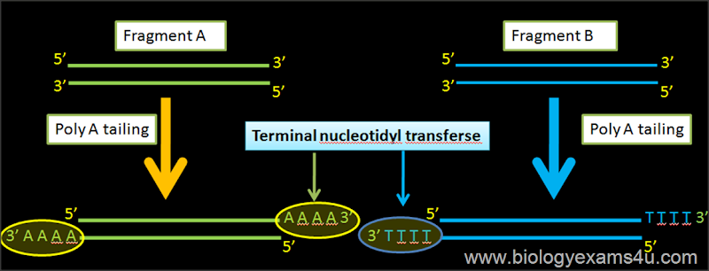 Terminal nucleotydyl transferase in rDNA technology